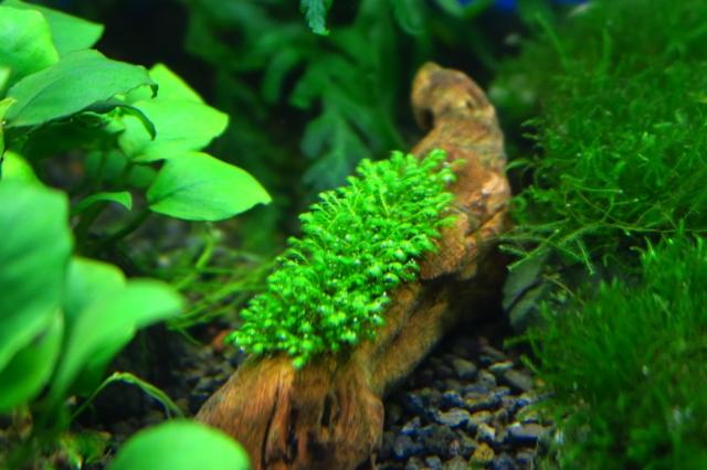 ヒメホウオウゴケ 流木付 SSC産水中葉は希少