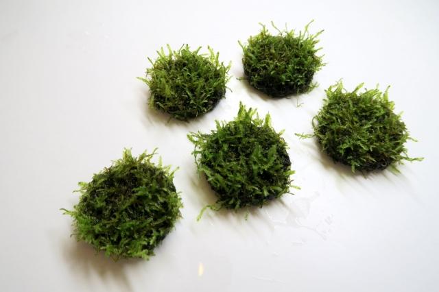 枝垂れる感じが最高の佗び草 『クリスマスモス』水草です。
