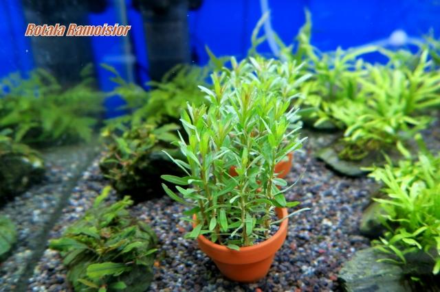 注目の水草 ◆アルアナサンセット◆水上葉 鉢