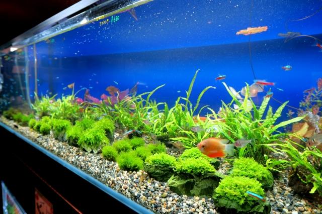 ご存じ国産無農薬水草!安心、安全、綺麗、SSC産水草