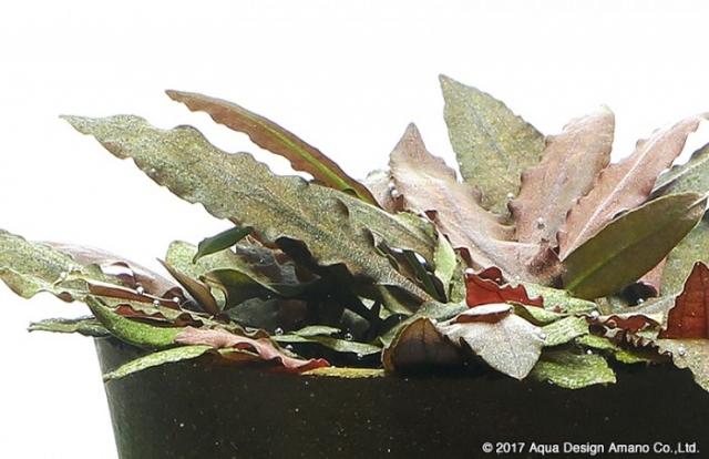 褐色の色合いが水景に落ち着きを与えます。クリプトコリネ・ウェンティ ブラウン