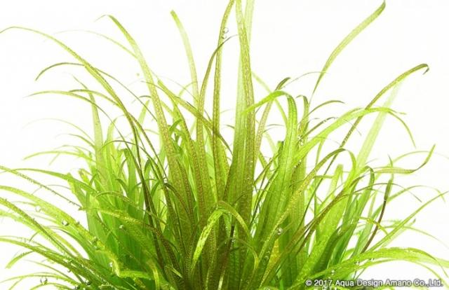 中景におすすめで、まとめて植えて群生させたり、ワンポイントで使うこともできます。