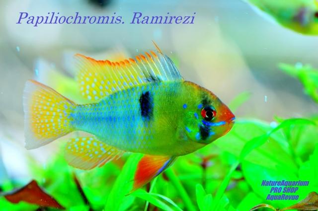丈夫で飼育しやすいく色彩豊かな個体です。ヨーロッパ及び東南アジアでの繁殖個体