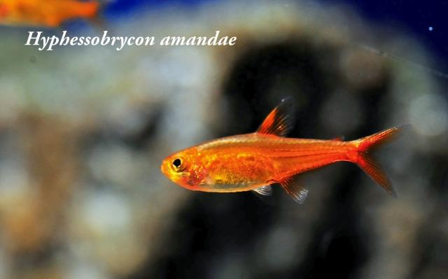 """その名の通り""""燃えるような""""赤色の熱帯魚です。小型水槽に欠かせません。※ファイヤーテトラ"""