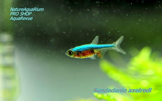 小型種の中でも深みのある色合いが、魅力的な熱帯魚です。