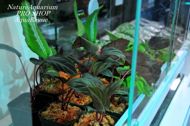 ★ホマロメナ フミリス 茎が赤く、葉はビロードで光を浴びると一層綺麗です。