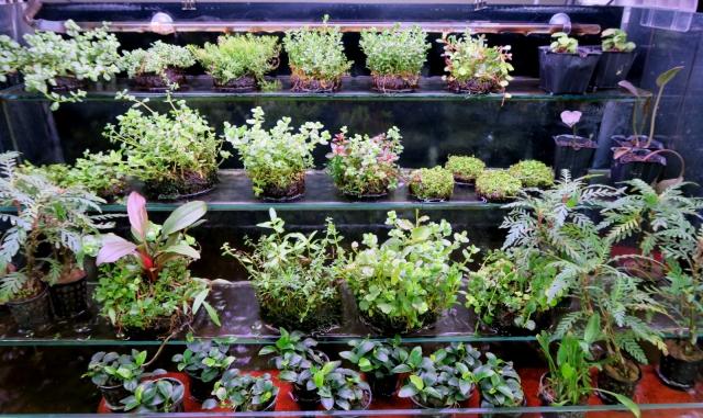 佗び草も人気でプラントグラスなどで水上葉としても楽します。