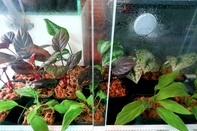 """水草ではございませんが、『熱帯性植物も""""若干ございます。』"""